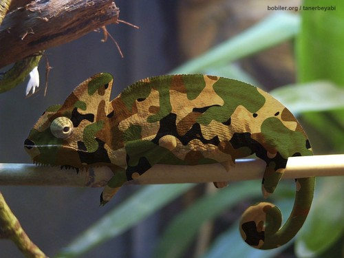 Cartoon: chameleon (medium) by tanerbey tagged soldier,camouflage,chameleon