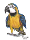 Cartoon: Ara ararauna (small) by Pascal Kirchmair tagged papagei aquarell watercolour gelbbrustara ara ararauna blue and yellow macaw painting zeichnung illustration peinture