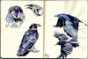 Cartoon: Murder1 (small) by halltoons tagged crow crows bird birds sketch watercolor
